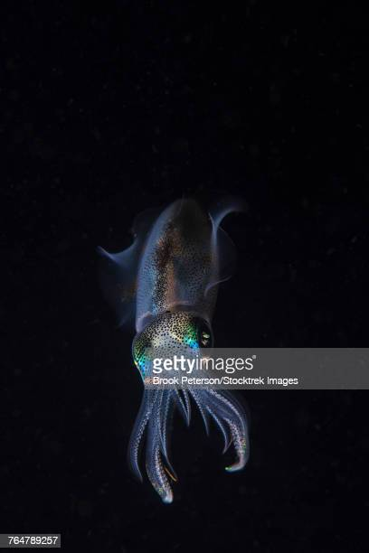 A reef squid hovers above the sandy bottom of the ocean, Anilao, Philippines.