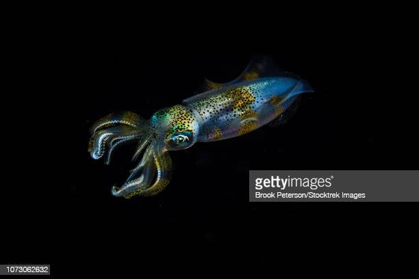 a reef squid hovers in mid-water, anilao, philippines. - 動物学 ストックフォトと画像