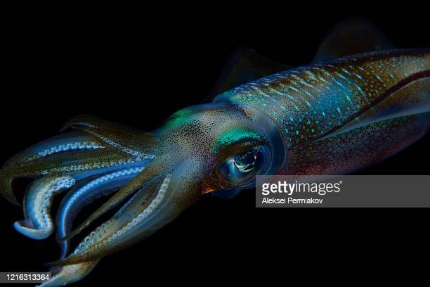 reef squid - cnidarian stock pictures, royalty-free photos & images