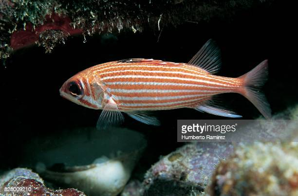reef squirrelfish. - squirrel fish 個照片及圖片檔