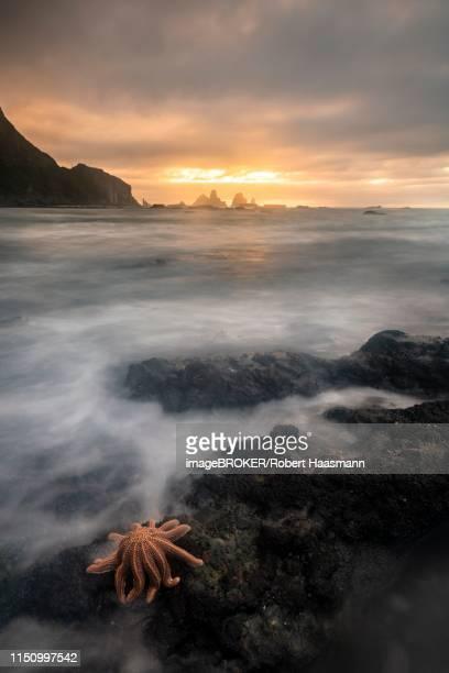 Reef starfish (Stichaster australis) on rocky coast, dramatic light atmosphere, rocks in the sea, Greymouth, region West Coast, South Island, New Zealand