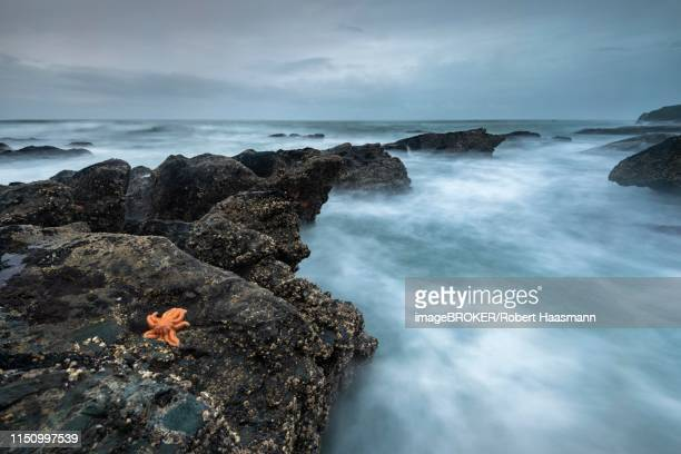 Reef starfish (Stichaster australis) on rocky coast, rocks in the sea, Greymouth, West Coast region, South Island, New Zealand