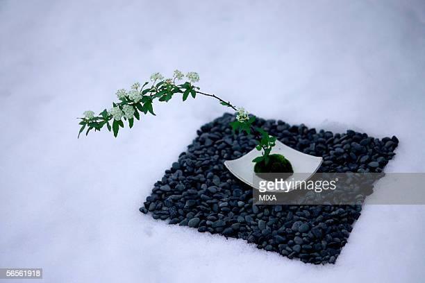 reeves' spirea (spiraea cantoniensis) - wabi sabi - fotografias e filmes do acervo