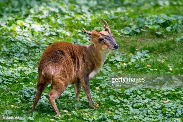 Reeves's muntjac male introduced species native to southeastern China and Taiwan