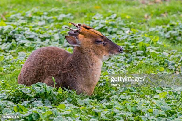Reeves's muntjac male native to southeastern China and Taiwan