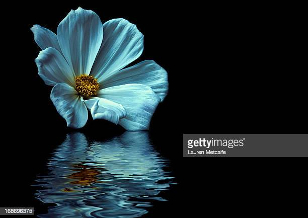 reflected - single flower stock pictures, royalty-free photos & images