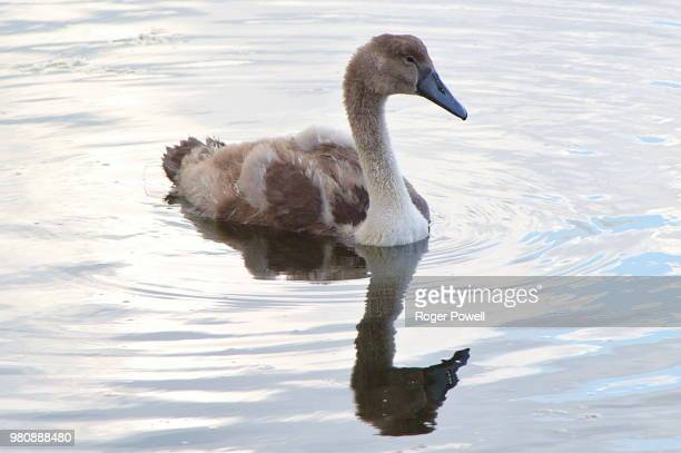 reflecting ugly duckling - ugly duckling stock photos and pictures
