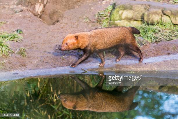 reflection of a bush dog - bush dog stock pictures, royalty-free photos & images