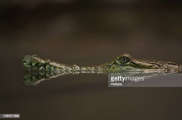 Reflection of a Crocodile