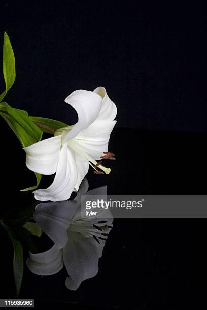 Spiegelung einer Lily