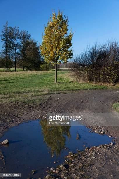 Reflection of an Oak (Quercus) in a puddle, Weinboehla, Niederau, Sachsen, Germany