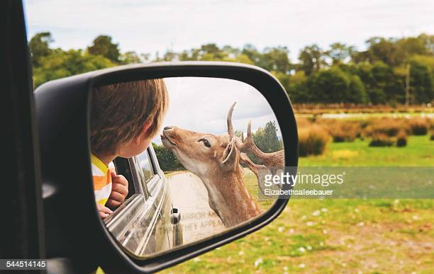 Reflection of boy (2-3) and deer in rear view mirror