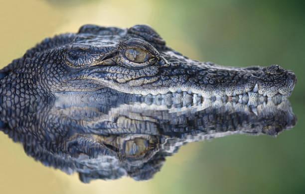 Reflection Crocodile Submerged Water Australia - Fine Art prints