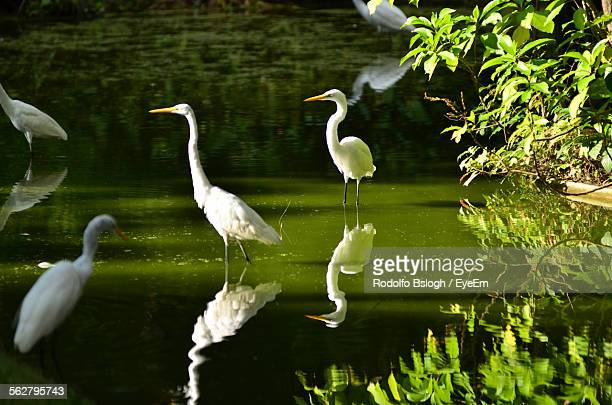 Reflection Of Egrets Wading In Pond