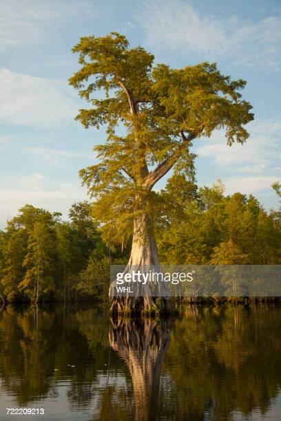 reflection of expansive tree roots in river - bald cypress tree stock photos and pictures