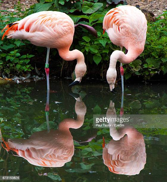 Reflection Of Flamingos In Calm Lake