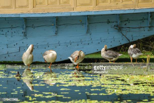 reflection of geese near boathouse at kashmir, india. - shaifulzamri stock pictures, royalty-free photos & images