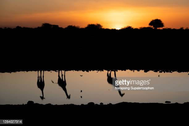 reflection of giraffes silhouette in the water hole, etosha nature reserves during sunset, namibia - erbivoro foto e immagini stock