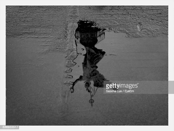 Reflection Of Goldelse In Puddle