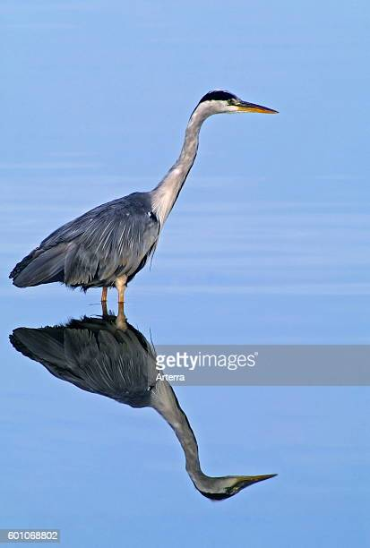 Reflection of grey heron foraging in shallow water of pond