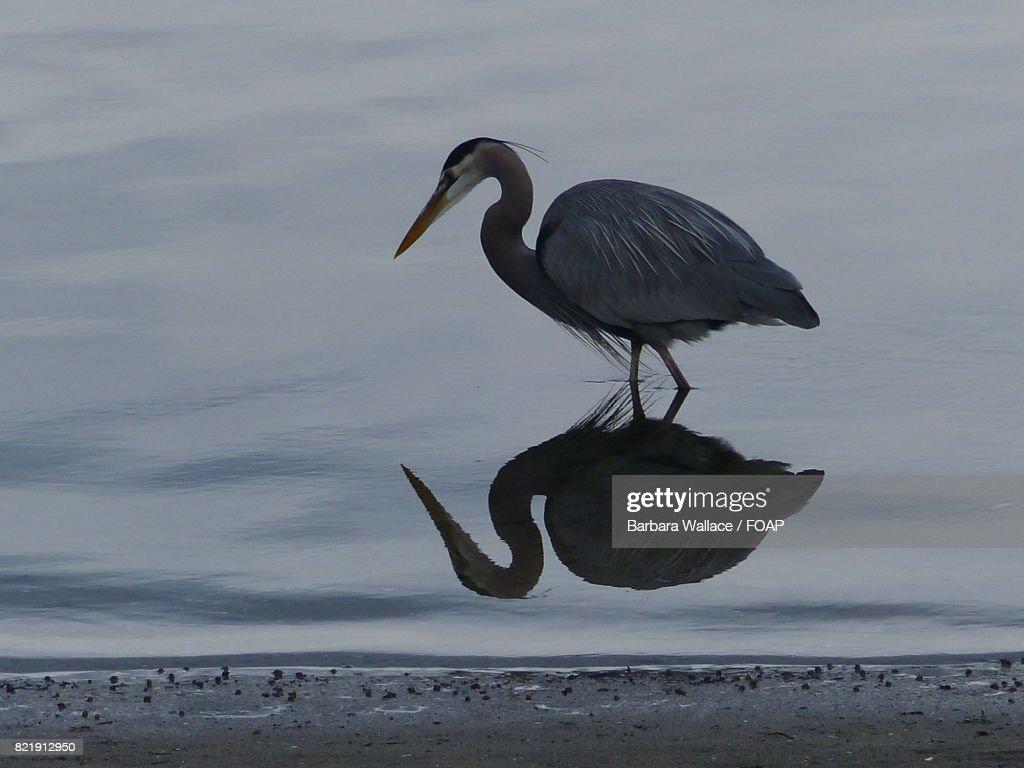 Reflection of heron bird on lake : Stock Photo