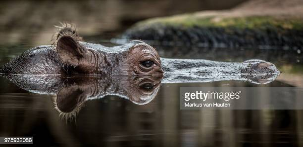 Reflection of hippo hiding in water