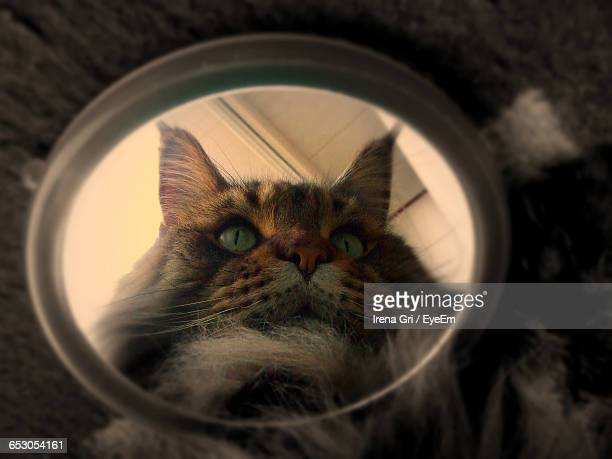 Reflection Of Maine Coon Cat In Mirror