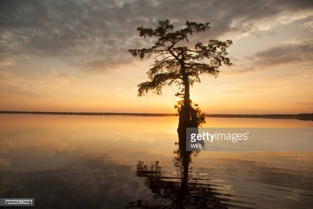 reflection of tree in river at sunset - bald cypress tree stock pictures, royalty-free photos & images