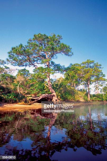 reflection of trees in a river, loxahatchee river, jonathan dickinson park, jupiter, florida, usa - jupiter florida stock pictures, royalty-free photos & images