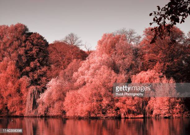 reflections of autumn trees on a lake (color manipulation with living coral pantone, color of the year 2019) - 2010 2019 stock pictures, royalty-free photos & images