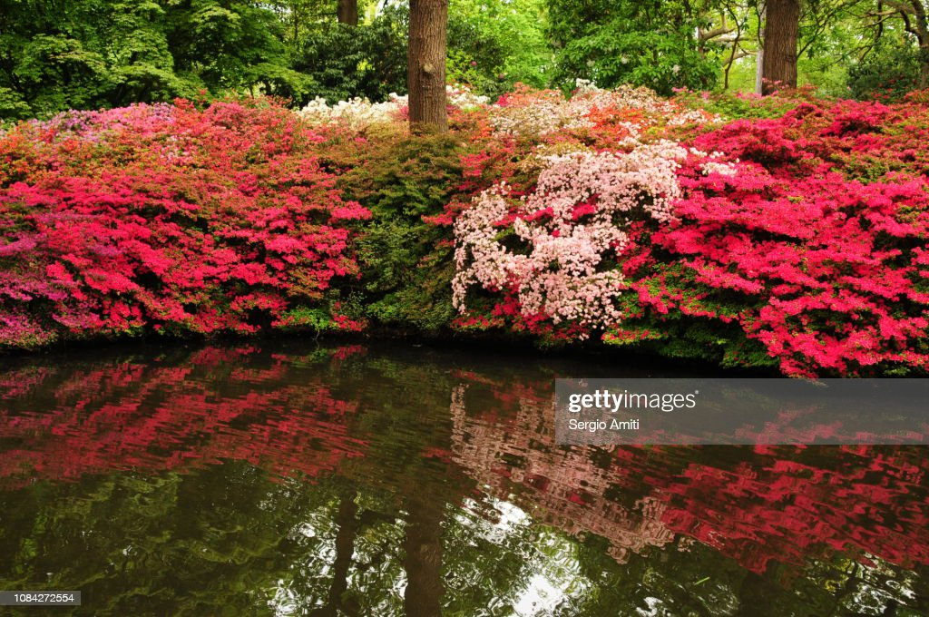 Reflections of azaleas and rhododendrons in a pool : Stock Photo