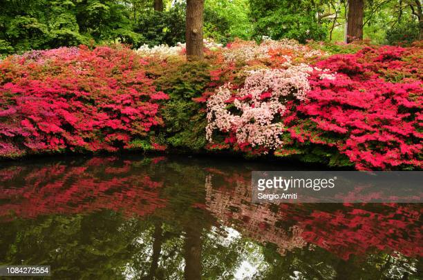 Reflections of azaleas and rhododendrons in a pool
