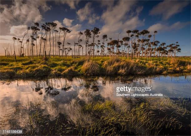 reflections of melaleuca's, rural king island, bass strait, tasmania, australia. - bass strait stock pictures, royalty-free photos & images