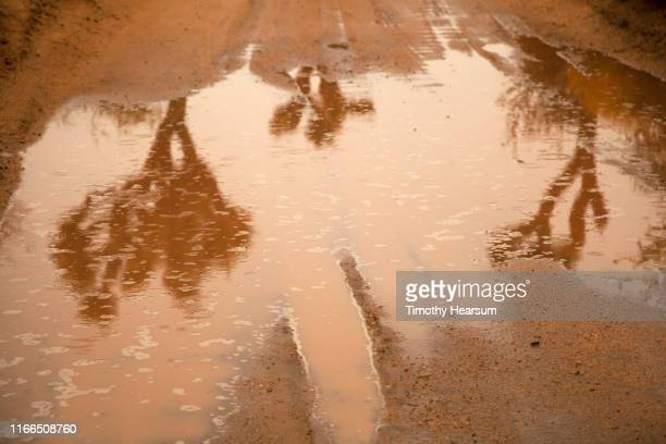 reflections of three joshua trees in a rain puddle in a dirt road - timothy hearsum stock pictures, royalty-free photos & images