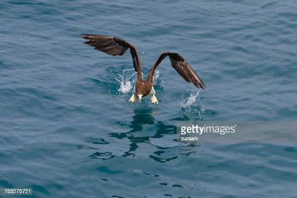 reflections - brown booby stock pictures, royalty-free photos & images