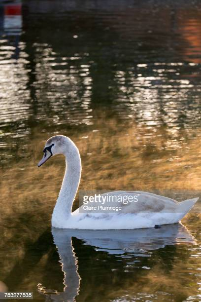 reflections - ugly duckling stock photos and pictures