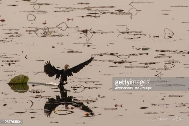 Reflective flight of the cormorant