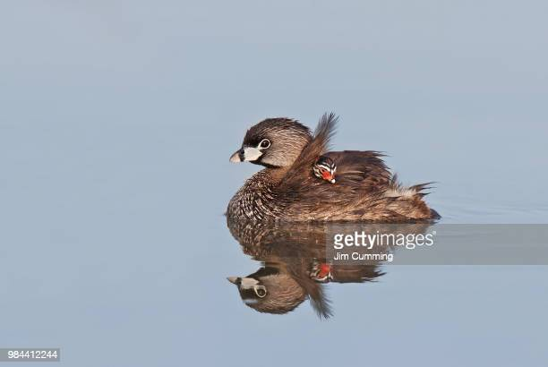 Reflective Waters - Pied-billed Grebe