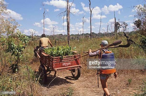 Reforestation Brazil Amazon Vicinity Pimenta Bueno Rondonia Mahogany Tree Seedlings Being Taken To The Jungle To Be Planted Out Very little...