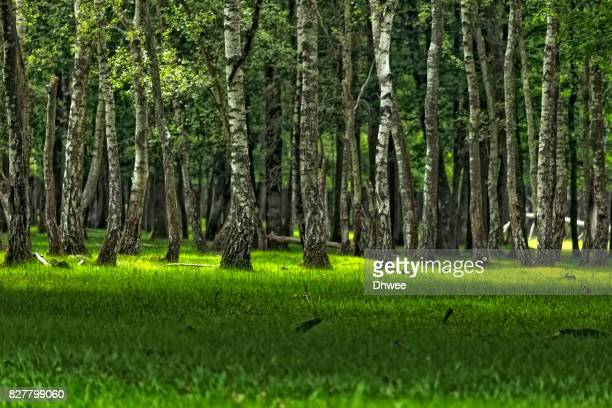 refreshing birch forest and yellow green grass in spring - ランブイエ ストックフォトと画像