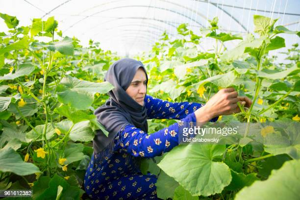 Refuge camp Domiz 1 in the district Semeel A woman at work in a greenhouse where cucumbers are cultivated The agricultural projects serve the...