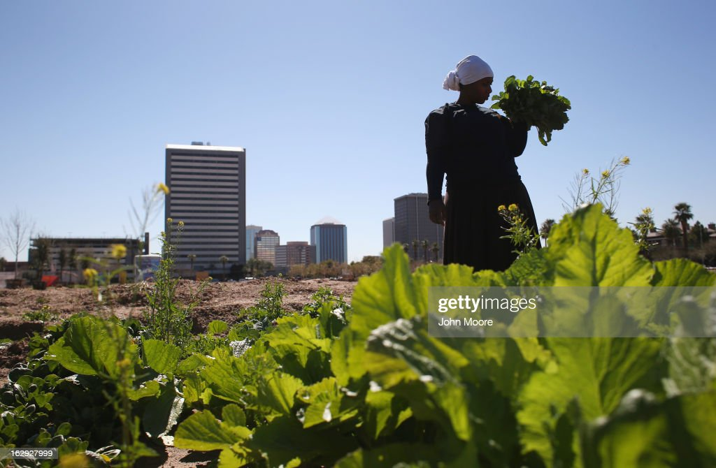 A refugee from the Democratic Republic of Congo harvests lettuce as part of the New Roots Program held by the International Rescue Committee (IRC), on March 1, 2013 in Phoenix, Arizona. The program is designed to help refugees, many of whom were farmers in their homeland, integrate into their new lives in America. New Roots, like many federally-funded programs, may be cut due to federal sequestration cuts. The IRC is a non-profit humanitarian aid organization that aids refugees and survivors of international conflict. They assist new arrivals, many of whom come from refugee camps and war zones, to adjust to American society after being granted refugee status and invited by the U.S. government to live in the United States. The IRC also assists refugees through the immigration and naturalization process to become U.S. citizens.