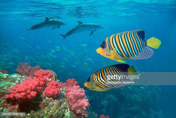 regal angelfish (pygoplites diacanthus) with dolphins, side view - mammal stock pictures, royalty-free photos & images