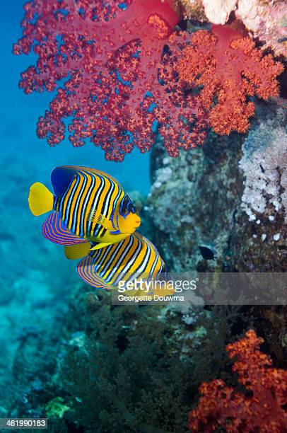 Regal angelfish with soft coral