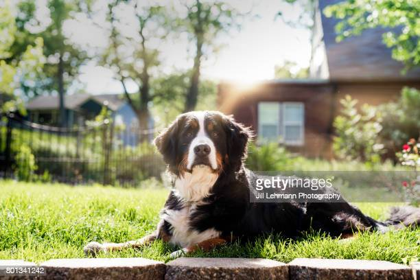 A Regal Bernese Mountain Dog Sits in the Sun