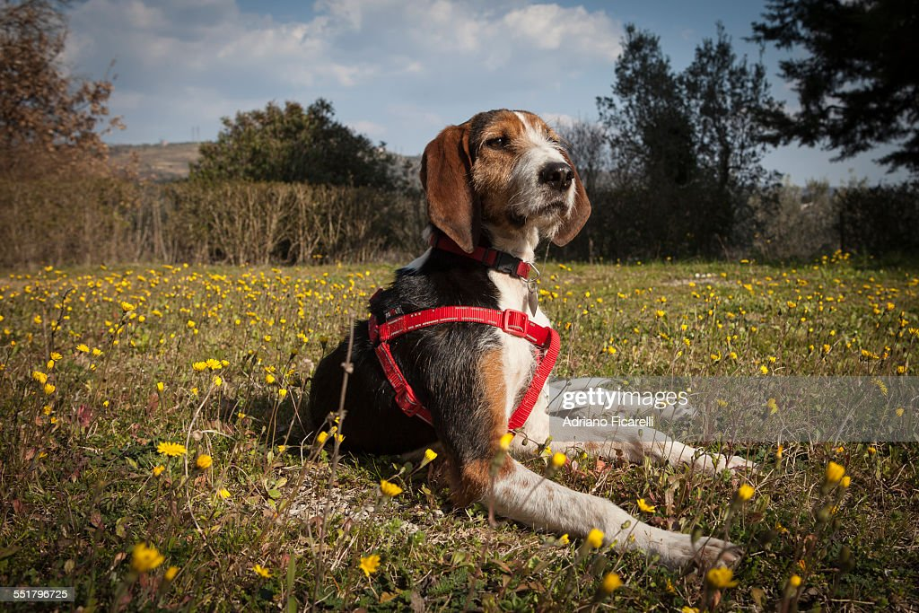 Regal dog : Foto stock