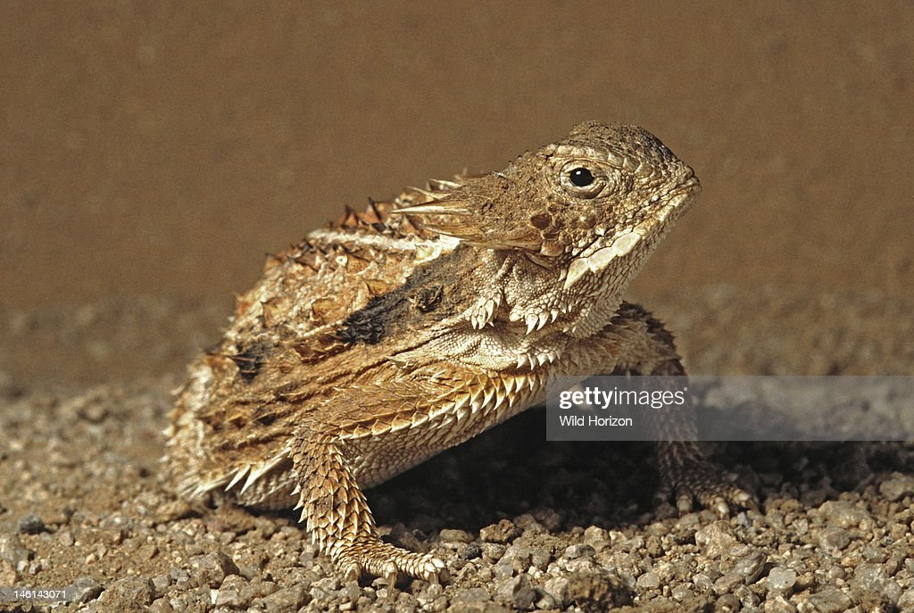 A regal horned lizard Phrynosoma solare Sonoran Desert Tucson Mountains Tucson Arizona USA Photographed under controlled conditions
