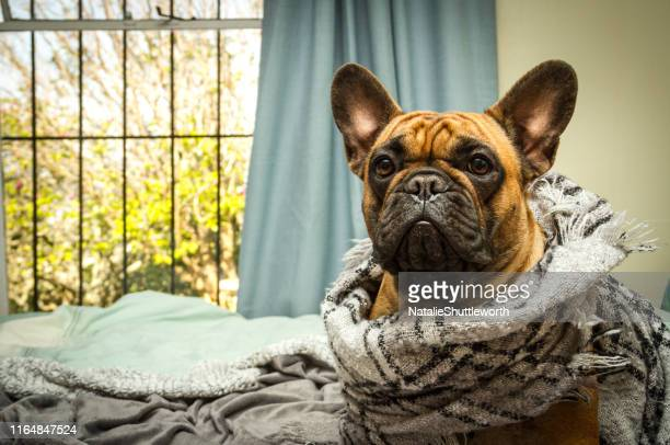 regal looking french bulldog wrapped in a scarf - bulldog frances imagens e fotografias de stock