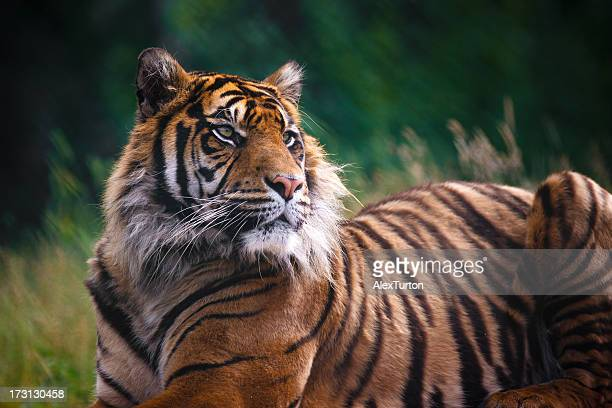 regal - bengal tiger stock pictures, royalty-free photos & images