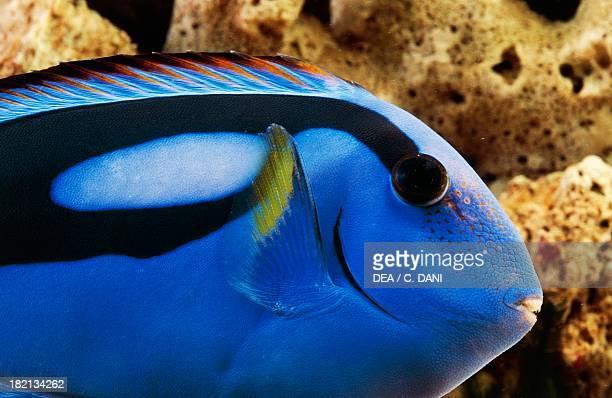 Regal tang or Palette surgeonfish Acanthuridae in aquarium